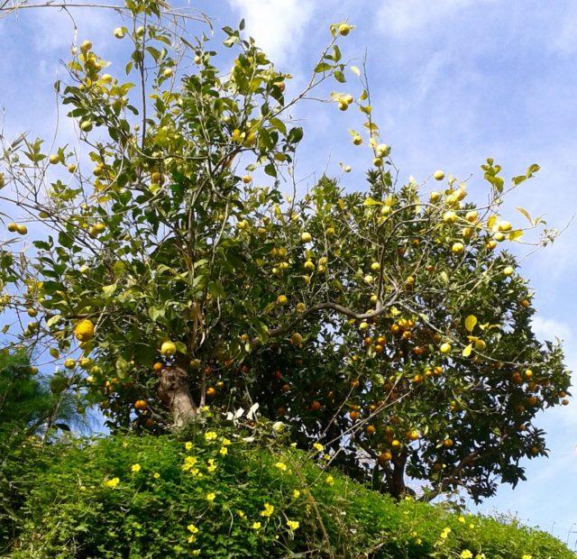 Februar: appelsin- og citrontræer og forårsblomster
