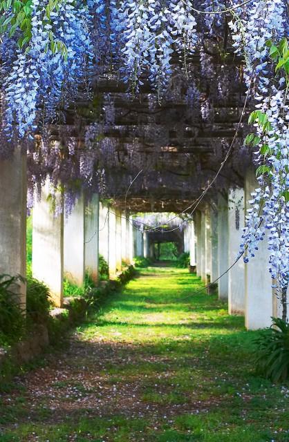 Blåregn i haven til Villa Piccolo, Capo d'Orlando, Foto: Nicola Di Maria, Wikimedia 2006